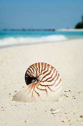 nautilus at beach, close-up, Koh Lipe, Thailand