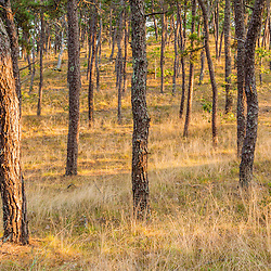 A pitch pine forest along the Great Island Trail in the Cape Cod National Seashore in Wellfleet, Massachusetts.