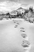 A Kodiak brown bear leaves fresh tracks in the snow as he heads to his winter den in the mountains. Kodiak Island, Alaska.