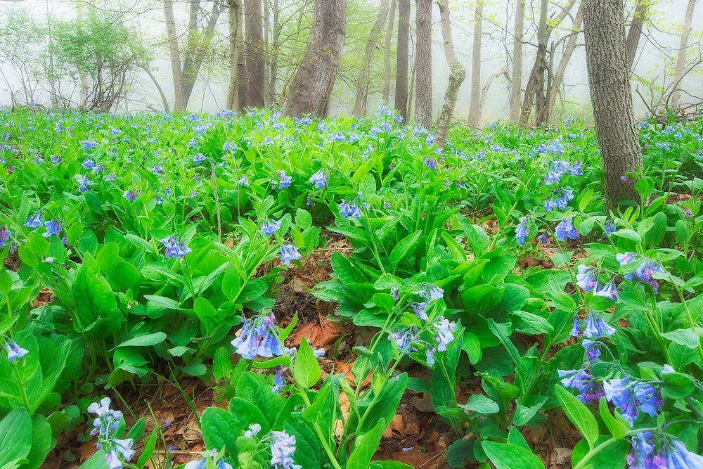 """Virginia Bluebells in Fog <br /> <br /> 14"""" x 11"""" <br /> See Pricing page for details. <br /> <br /> Please contact me for custom sizes and print options including canvas wraps, metal prints, assorted paper options, etc. <br /> <br /> I enjoy working with buyers to help them with all their home and commercial wall art needs."""