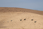 Desert Agriculture Livestock farming Goats and sheep herding Photographed in the Negev Desert, Israel