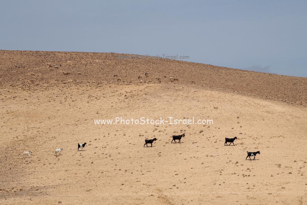 Desert Agriculture Livestock farming Goats and sheep herding Photographed in the Negev Desert, Israel