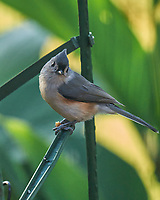Tufted Titmouse. Image taken with a Leica SL2 camera and Sigma 150-600 mm sport lens.
