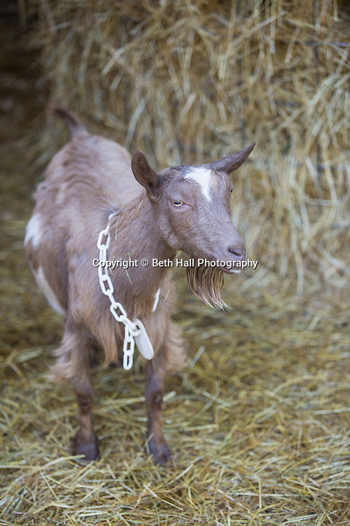 Goats in the yard at White River Creamery on Friday, June 20, 2014 in Elkins, Ark.<br /> <br /> Photo by Beth Hall