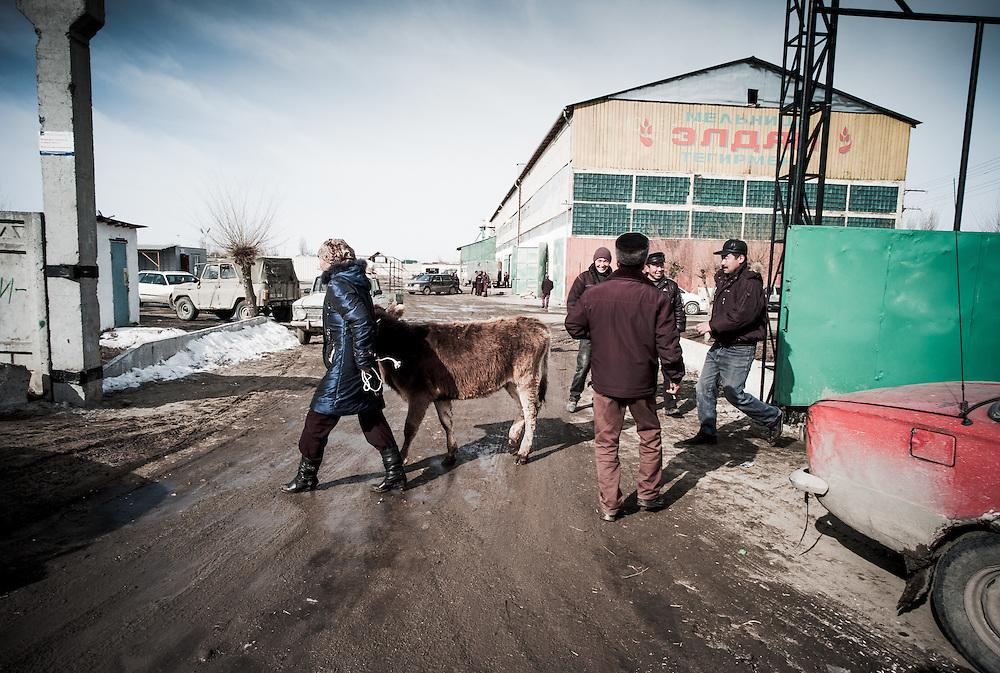 A woman leads away a calf.