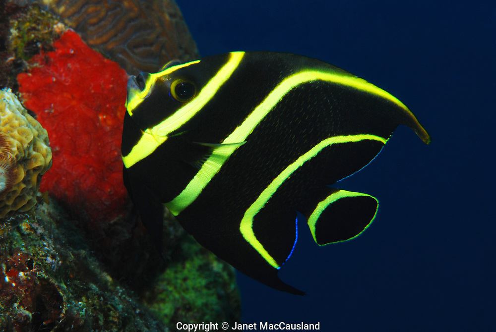 As twilight takes hold, the water turns dark blue. A black and yellow striped angel fish comes around the bend in the reef to where I was diving.