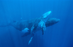 Megaptera novaeangliae, Buckelwal, Mutter mit Baby-Wal, humpback whale, mother with calf, Tonga, Polynesien, Polynesia