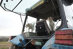 © Licensed to London News Pictures. <br /> 30/11/2014. <br /> <br /> Boulby, United Kingdom<br /> <br /> Two dogs sit in the back of a tractor cab the start of the ploughing match that takes place each year on fields next to the picturesque Yorkshire coastline near Staithes. Farmers attend each year to demonstrate their ploughing skills and to help raise money for charity with proceeds from this year going to Charlie Brown Cancer Care in Newcastle.<br /> <br /> <br /> Photo credit : Ian Forsyth/LNP