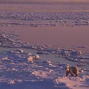 Polar bear at Hudson Bay, Canada.