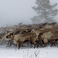 North of the Arctic Circle in Russia, reindeer herded by a nomadic Komi clan charge across the tundra through heavy whiteout fog.
