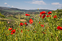 Red poppies bloom in May in the countryside of Ronda, in southern Spain.