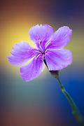 Flower | Blomst
