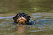 Portrait of a giant otter, Pteronura brasiliensis, looking at the camera.