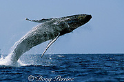 humpback whale breaching, Megaptera novaeangliae, Threatened Species, Hawaii, USA ( Central Pacific Ocean )  1 in sequence of 3