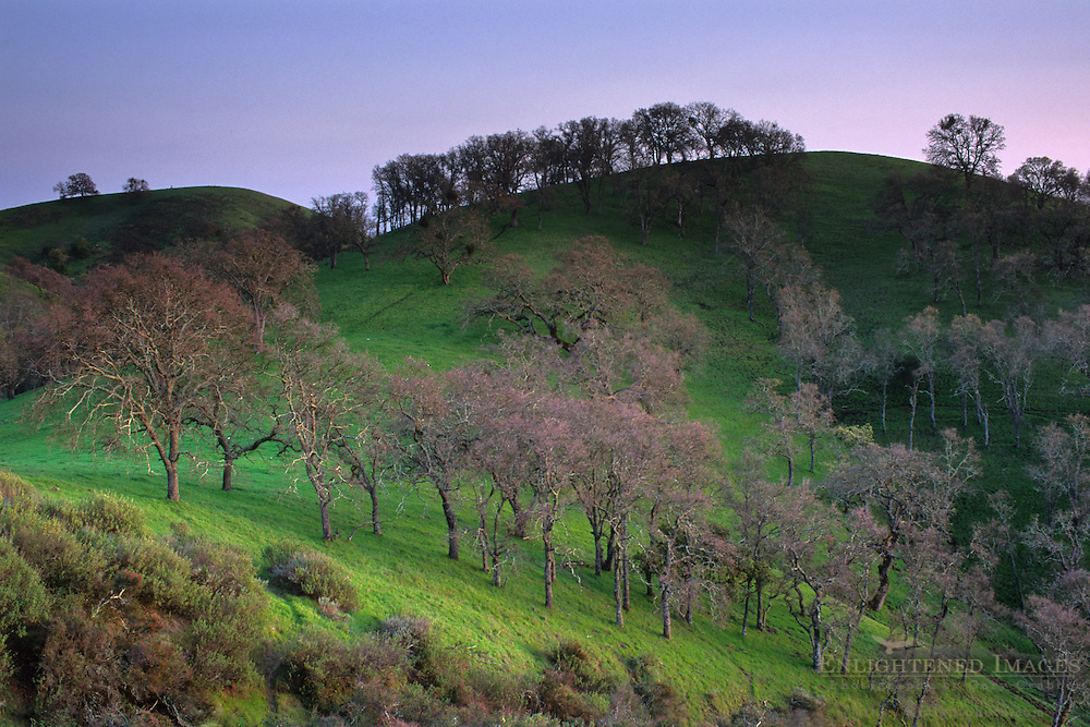 Oak trees and green hills, Mount Diablo State Park, Contra Costa County, CALIFORNIA
