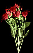 False Color X-ray of Lisianthus Flowers (Eustoma russellianum).  This flower was previously Eustoma grandiflorum and is also known as prairie gentian.
