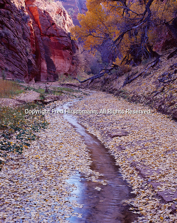 Fremont Cottonwood, Populus fremontii, leaves lining small stream in canyon tributary to The Barracks, East Fork of the Virgin River, Utah.