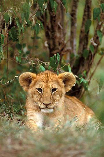 Lion, (Panthera leo) Portrait of cub. Masai Mara Reserve. Kenya. Africa.