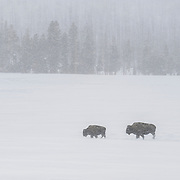 Bison (Bison bison) in a snowstorm. Yellowstone National Park