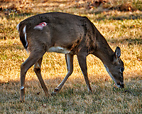 Doe with an injury on her thigh. Winter backyard nature in New Jersey. Image taken with a Fuji X-T2 camera and 100-400 mm lens (ISO 640, 400 mm, f/5.6, 1/250 sec).