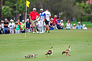 Feb 26, 2015; Palm Beach Gardens, FL, USA; A group of ducks walk in front of the 6th green as Russell Henley and Rickie Fowler wait to putt during the first round of the Honda Classic at PGA National GC Champion Course. Mandatory Credit: Peter Casey-USA TODAY Sports