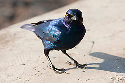 Cape starling (Lamprotornis nitens) perching, South Africa