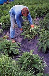 Man harvesting organic comfrey UK