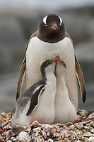 Family portrait of Gentoo Penguins (Pygoscelis papua) on the nest.  Port Lockroy, Weincke Island.