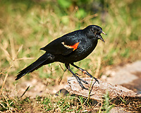 Red-winged Blackbird (Agelaius phoeniceus). Campos Viejos, Texas. Image taken with a Nikon D3x camera and 600 mm f/4 VR lens.