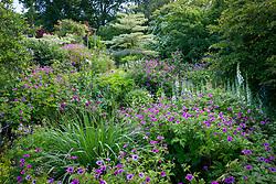 Geranium psilostemon in the borders at Glebe Cottage. Cornus controversa 'Variegata', Cornus 'Norman Hadden', Epilobium angustifolium album