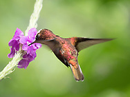 Snowcap (Microchera albocoronata) feeding from a flower at Rancho Naturalista, Costa Rica.