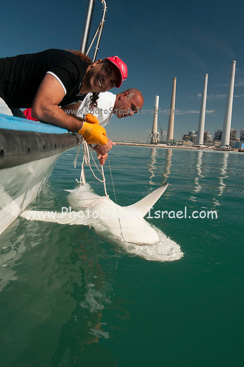 Researchers are tagging a sandbar shark (Carcharhinus plumbeus) in the Mediterranean sea. In recent years this shark has become more common in the Mediterranean especially near power plants hot water outlets. Photographed in February of the Hadera shore, Israel