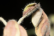 White admiral (Limenitis camilla) 3rd  instar larva resting in hibernaculum on honeysuckle (Lonicera periclymenum). Sussex, UK.