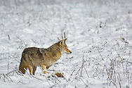 Coyote hunting for rodents in grass meadow after fresh snow, Yosemite Valley, Yosemite National Park, California
