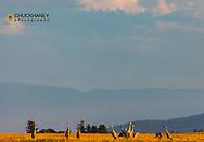 Sandhill cranes in the Flathead Valley, Montana, USA