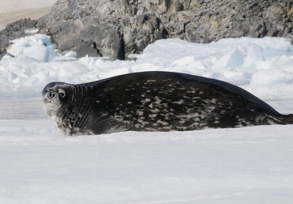 A Weddell Seal (Leptonychotes weddellii)  lies on an ice floe in Hope Bay. Hope Bay,  Trinity Peninsula,  Antarctic Peninsula, Antarctica. 02Mar16