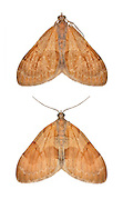 70.077 (1768)<br /> Pine Carpet - Thera firmata