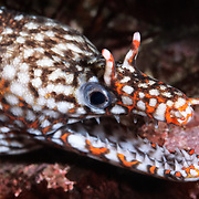 Colorful dragon moray eel (Enchelycore pardalis), a fish that is relatively common in the waters around the Izu Peninsula of Japan