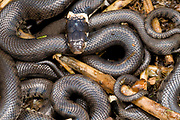 Close up of young grass snakes (Natrix natrix) uncovered in a Norfolk garden compost heap in late summer