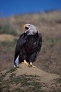 Bald Eagle, Haliaeetus leucocephalus, Boulder, Colorado, beak open, calling, screeching,