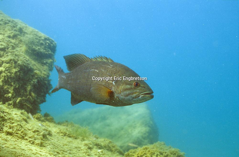 Smallmouth Bass (Lake Michigan)<br /> <br /> ENGBRETSON UNDERWATER PHOTO