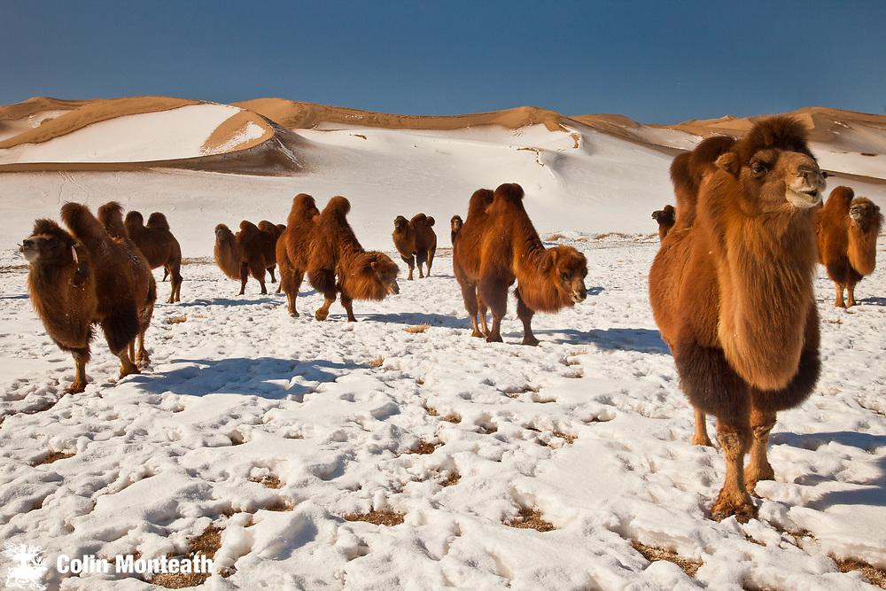 Bactrian camels search for grazing during winter, Khongur sand dunes, Sevrei mountains, Gobi desert, Mongolia