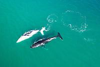 Aerial view of three whales swimming near Noosa, Australia.