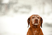 SHOT 4/15/13 3:58:59 PM - Tanner, an eight year-old male Vizsla, expresses his displeasure with the cold temperatures while playing in the snow outside his home in Denver, Co.<br /> (Photo by Marc Piscotty / © 2013)