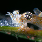 This is a female Japanese pygmy squid (Idiosepius paradoxus) depositing eggs on a blade of eelgrass (Zostera marina). Reproductive season takes place twice a year.. Adults of this species die after reproduction, which means that there are two generations each year. Size descriptions generally suggest maximum size of up to 18mm. The females in this area were considerably larger, in the range of 30mm. Photographed at magnification of two times life-size.