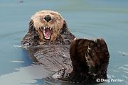 sea otter, Enhydra lutris ( Endangered Species ), yawning, Valdez, Alaska ( Prince William Sound )