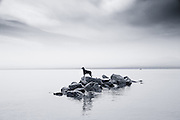 Rico, a 10 year old Gordon Setter, swimming in Flathead Lake and climbing on the rocks after diving in off the dock