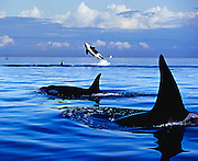 Orcas (Killer Whales) surface and jump in the Pacific Ocean boundary waters as they transit during migration between the United States and Canada.<br />