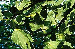 Ficus carica 'Brunswick' at Great Dixter. Common Fig