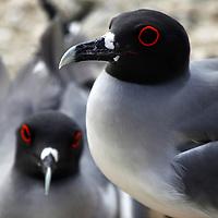 South America, Ecuador, Galapagos Islands. Galapagos Gulls on Genovese Island.